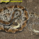 bothrops_asper_cr13