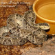 bothrops_asper_eq1