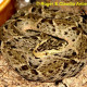 bothrops_asper_eq10