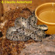 bothrops_asper_eq6